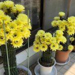 とげとげのサボテン 今年も黄色い鮮やかな花が咲きました